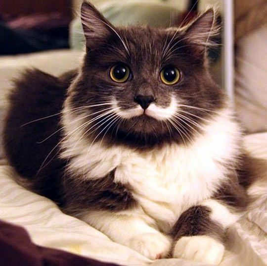 This cat is paranoid about his Handlebar - he's obsessed with the idea that someone will try and steal it from him.  If you touch his 'tache he will kill you.: Mustache Cat, Hipster Cat, Beautiful Cat, Kitty Cat, Kitty Kitty, Cat Mustache, Mustach
