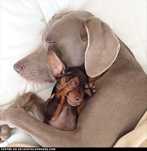 Weimaraner Harlow cuddles with her new pal and best friend Indi, a cute little Mini Dachshund: Doggie, Best Friends, Puppy Love, Box, Dog S, Sweet Dreams, Adorable Animal, Furry Friends