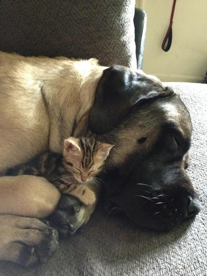 Why can't the world be this peaceful?: Animal Friendship, Kitten, Dogs And Cats, English Mastiff, Dogs Cats, Cats And Dogs, Cats Dogs