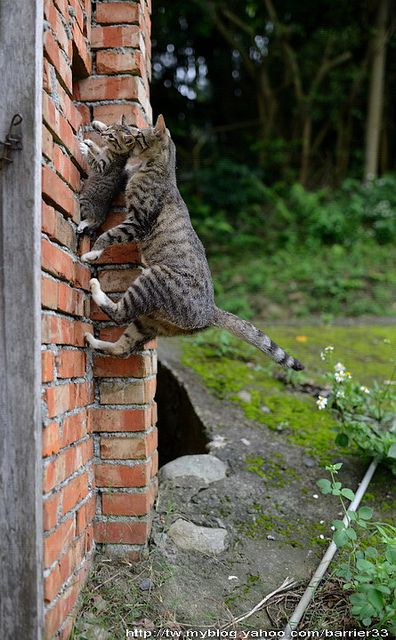 子猫運び中、、、、 come on son... you can do this thing! kep climbing i am right behind you :) i wont let you fall John 3:16 john 14 1-5 the Gospel according to John -The Bible :): Cats, Animals, Mothers, Funny, Baby, Kittens, Kitty, Photo, Mom
