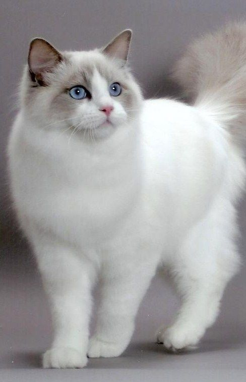 """""""There is something about the presence of a cat that seems to take the bite out of being alone."""" --Louis J Camuti: Ragdoll Cat, Kitty Cats, Fluffy Kitten, Kitty Kitty, Rag Doll, Cats Kittens, Animal"""