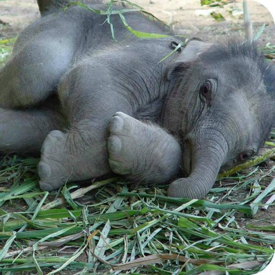 """Baby elephant waking up from a dream about yummy bananas! """"Why are you watching me?"""" <3 #ivoryforelephants  #stoppoaching"""