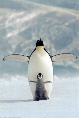 images of penguins | home penguin penguin animal pictures pics and animal wallpapers ...