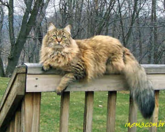 Maine Coon cat! I sooo want one! My snickers looks like she might be half maine coon just not as big! :)