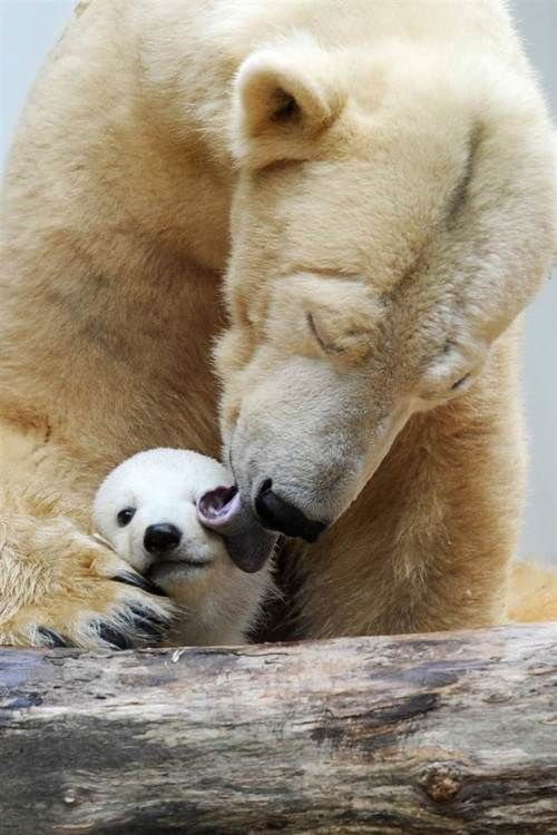 polar bear and cub: Wild Animal, Polar Bears, God, Mother S, Polarbear, Amazing Animal, Baby Polar Bear, Bath Time