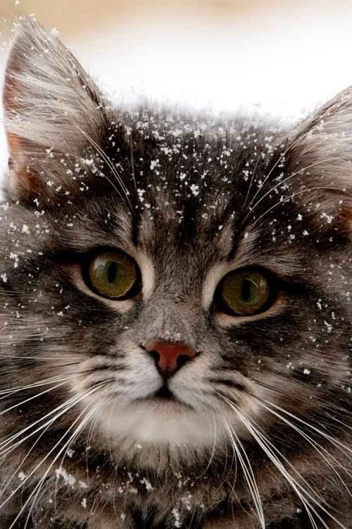 Snow Kitty. Want you home to be pet-friendly and beautiful? Sensiblychic.biz can help. 704-608-9424: Kitty Cats, Animals, Pet, Snow Cat, Snow Kitty, Kitty Kitty, Pretty Kitty, Feline, Cats Kittens