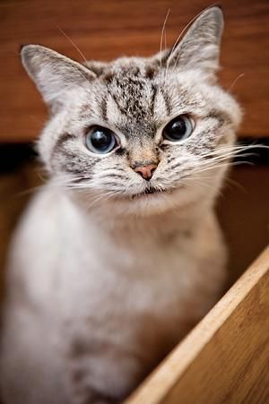 """U can see this kitty has such a sweet funny """"personality""""! Love it!: Cat Face, Animals, Cute Cats, Kitteh, Funny Cats, Pet, Funny Faces, Dog"""