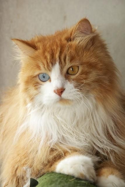 """I love cats because I enjoy my home; and little by little, they become its visible soul."" ― Jean Cocteau: Beautiful Cat, Kitty Cat, Orange Cat, Heterochromia Cat, Pretty Cat, Blue Eye, Cats Kittens"