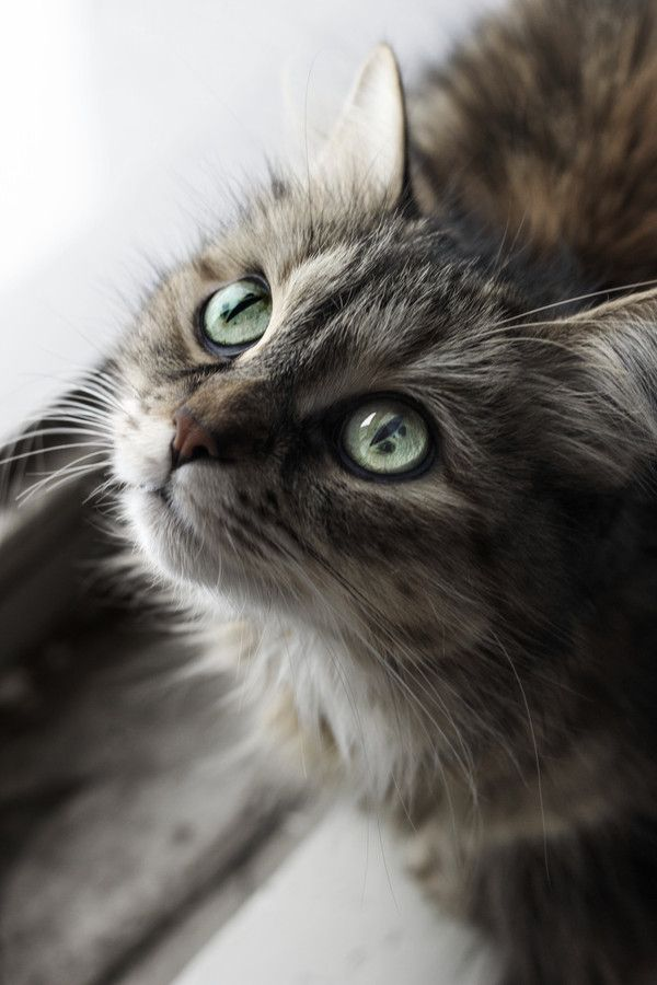 """""""People that hate cats will come back as mice in their next life."""" --Faith Resnick: Beautiful Kitty, Grey Cat, Kitty Cats, Beautiful Cats, Cat Eyes, Pretty Cat, Beautiful Eyes, Cats Kittens"""
