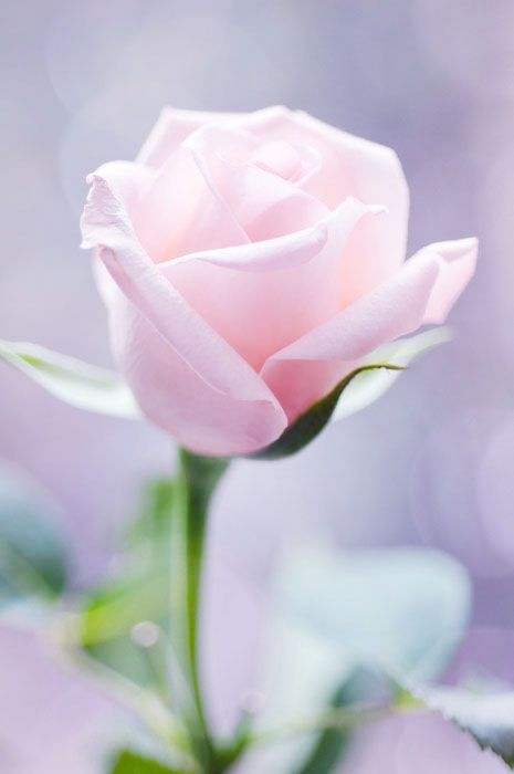 """A light pink single rose. There are over 100 different species of roses today; Many native to Asia. Roses are known as """"Queen of the Flowers"""", due to their popularity. Many have been used in herbal and folk medicines.: Pink Roses, Beautiful Roses, Whi"""