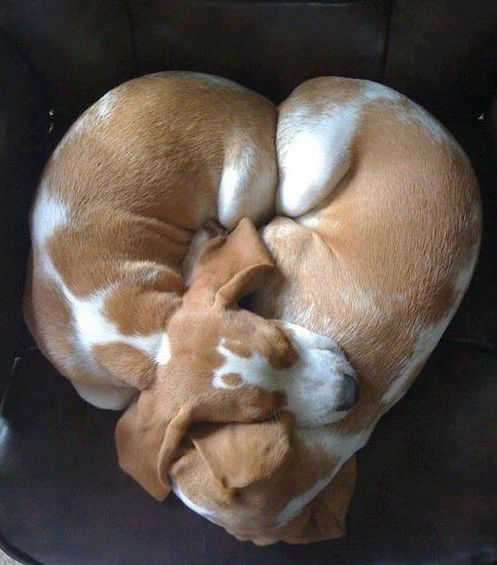 a puppy heart!: Sweet, Puppy Love, Heart Shape, Basset Hound, Valentine, Cute Dog
