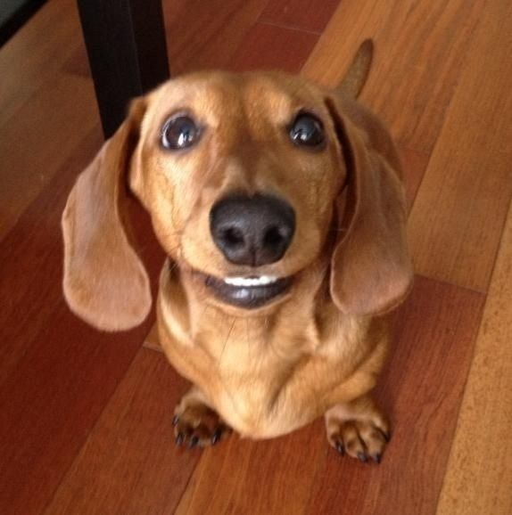 All dachshunds are happy just to be a dog instead of a hot dog! My dachshund smiles like this all the time!: Doxie Dog Stuff, Doxie S, Dachshund Smiles, Weiner Dogs, Wiener Dogs, Doxies We Re Dogs