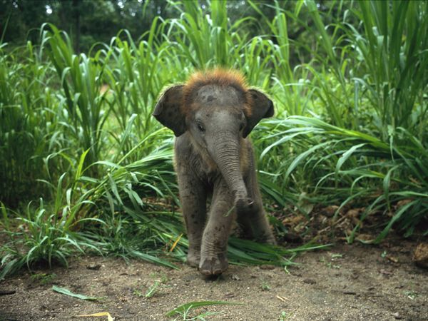 Baby Asian Elephant in Tall Grass: Baby Elephants, Asian Elephant, Pet, Baby Animals, Elephant Baby, Cute Babies, Hair, Adorable Animal