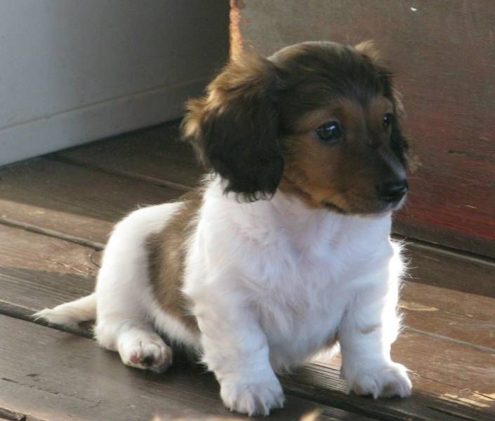 baby long-haired dachshund (:: Long Haired Dachshund, Dachshund Puppies, Dachie Puppy, Haired Baby, Baby Long, Baby Dachshund, Animals Mostly Doxies