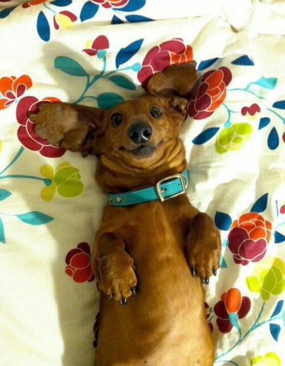Bacon looks smiley a lot of the time (This is NOT Bacon, but very cute). - Happy Dachshund: Doggie, Pets Planet, Happy Doxie, Happy Dogs, Weiner Dogs, Wiener Dogs, Hot Dogs, Animal