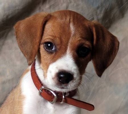 Beagle/Jack Russell Mix: Jack Russell Terriers, Beagle Chihuahua, Beagle Jack, Awhhh Animals, Jackabee, Beagles Beagles, Beagle Animal, Animals Furever