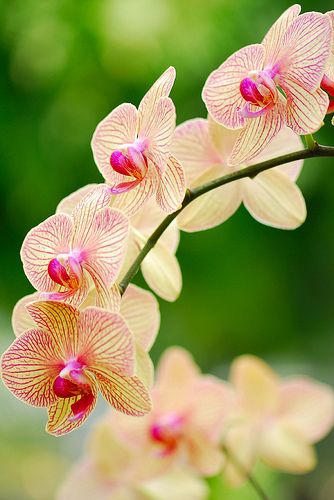 Beautiful Orchid flowers! Come pin with us on #Pinterest. #WeAreWeca: Fresh Orchids, Flowers Plants, Orchids Flower, Beautiful Flowers, Flowers Orchids, Flower S, Beautiful Orchids, Flowers Garden