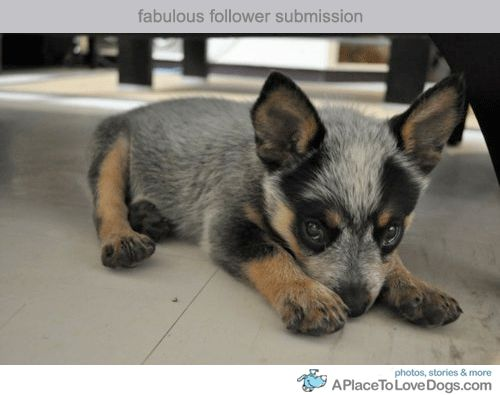 Blue Heeler baby. I wish I could shrink Zephyr into a tiny puppy like this. : Blue Healer, Christmas Baby, Australiancattledogs, Australian Cattle Dog, Cattle Pup, Blue Heeler, Box, Baby Maxie