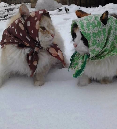 "* * CAT ON LEFT: "" Whens yoo getz here froms Poland?"" [2ND CAT: "" Onlys two months ago; me alreadys lost me green card."" [1ST CAT: Bawzhe' ! Yoo betters high tails it down to de American Embassy. BTW, me likes yer babushka."": Kitty"