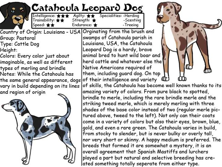 Catahoula leopard dog- I feel like two stars in trainability is generous but to each his own LOL: Catahoula Dogs, Catahoulas, Catahoula Stuff, Catahoula S Maggie, Catahoula Time, Leopard Dogs, Catahoula S Rule, Catahoula Animals, Catahoula Leopard Dog Fac