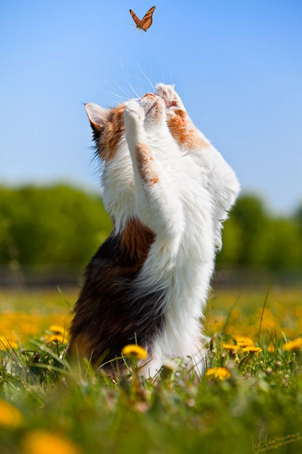 Catching the butterfly. As cute as this is, please keep your cats inside. They are horribly detrimental to wildlife populations which are already overcoming many obstacles to their species' continued survival.: Kitty Cats, Cats Meow, Cute Cats, Kitty