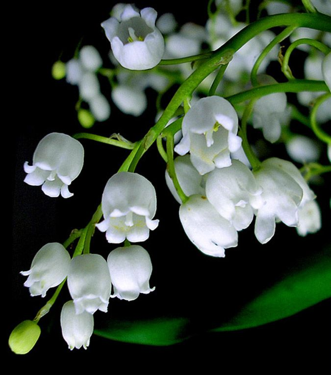 Convallaria majalis or the lily of the valley is the flowers that grow in the north of Asia, Europe and on some mountains of US. They are completely white in color and they too have a structure similar to a small cup cake. They are highly poisonous so be