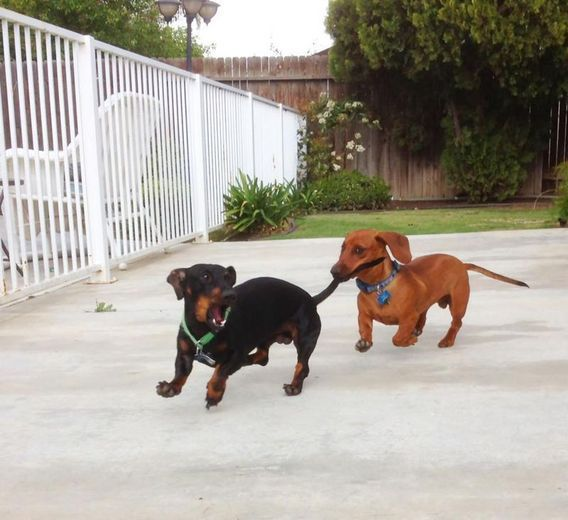 Dachshund Train ristie G. from Bakersfield, California sent in this photo of her two dachshunds. This is proof that chasing your tail isn't nearly as fun as chasing someone else's.: Funny Animals, Daschund, Weenie Dogs, Doxie S, Dachshund Train, Weiner Do