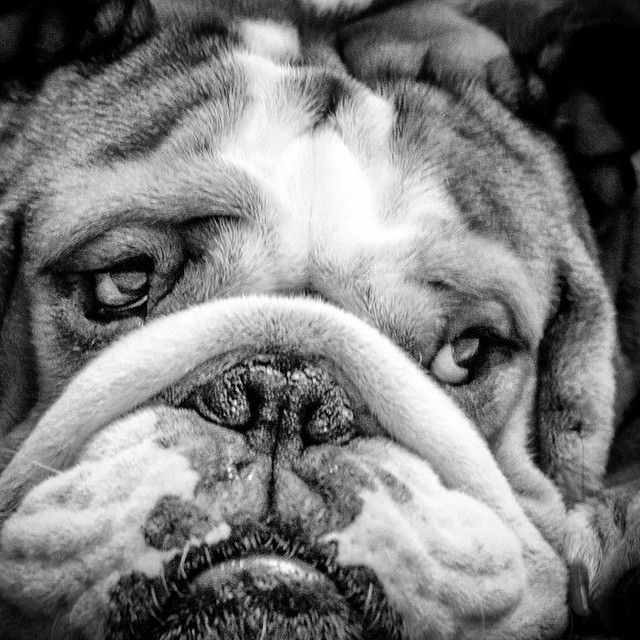 English Bulldog: White Bulldog, Englishbulldog, Bulldogs Dogs, Bulldog Puppies, Bulldog Luv, English Bulldogs, Divinooo Bulldog, Animal