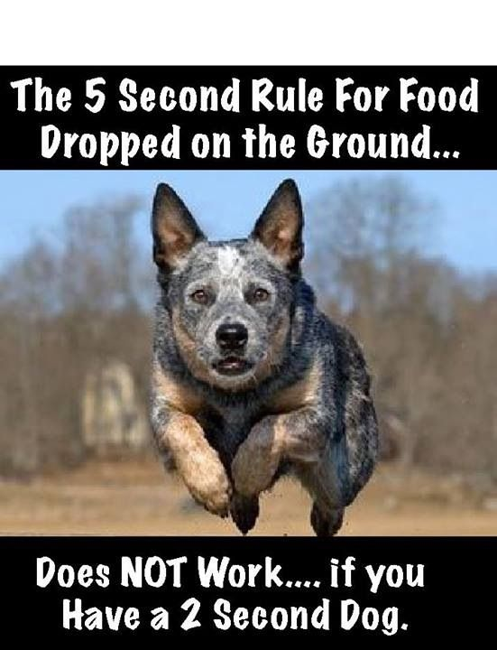 Heck no, you even start to drop it and it may be eaten before it even hits the floor lol: Australian Cattle Dogs, Australiancattledog Google, Blueheelers ️ ️ ️, Blue Heeler Puppy, Acd S, Blue Heelers, Cattledogs, Acd Heelers