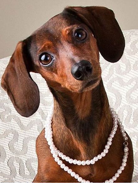 I've got my Pearls on!!!  Love the inquisitive look of the dachshund.: Things Pearls, Doxies Animals, Pets Doxies, Doxie Dogs, Pets With Pearls, Dogs Pets, Wear Pearls