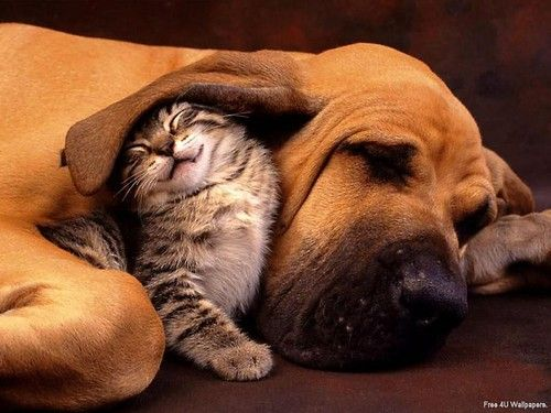 I love the expression on this cats face....If only Chica would stop pummeling Maggie perhaps I could see this picture re-enacted by my lovable furballs someday.: Kitten, Best Friends, Sweet, Adorable Animals, Cute Animals, Cats And Dogs, Furry Friends