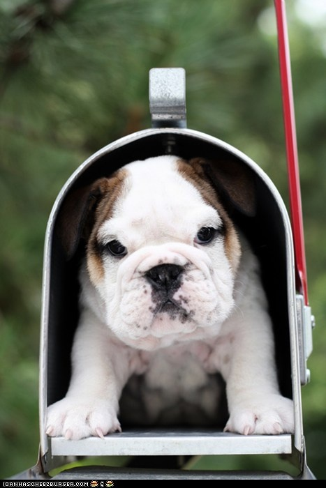 I would be the happiest person on earth if I found this in my mailbox. Seriously. Gimme.: Mailbox Bulldog, Apartments Bulldogs, Bulldog Puppies, English Bulldogs, Baby Bulldogs, Mailbox Puppy, Mail Boxes