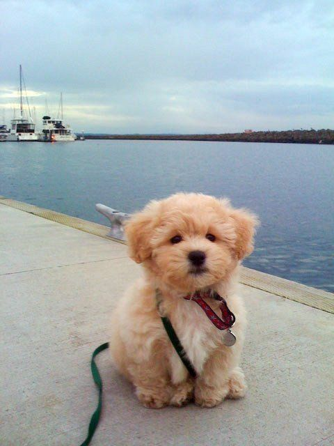 "It's called the ""teddy bear dog."" Half Shih-tzu and half Bichon Frise.: Doggie, Animals, Teddy Bears, Puppys, Teddy Bear Dogs, Box, Puppy S"