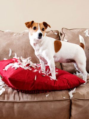Learn how to handle that moment when your #dog takes the unexpected turn from good to bad. #pets: Darn Dog, Jack Russells, Jack Russell Puppies, Train Dogs, Dogs Jack Russell, Cute Pet, Jack Russell Terriers, Jack Russell S, Bad Pets