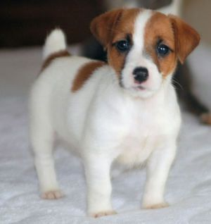 lovely jack russell: Jack Russells, Jack Russell Puppies, Russel Puppy, Jack Russell Terriers, Jack O'Connell, Jack Russell S, Jrt