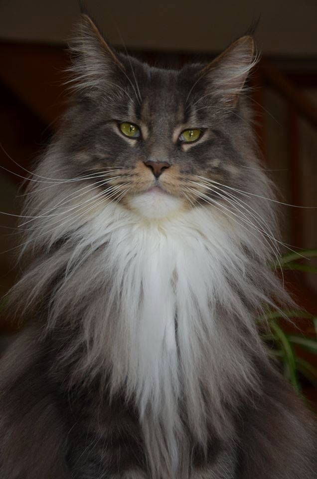 Maine Coon: Beauty Maine, Kitty Cats, Maine Coon Cats, Beautiful Maine, Catmanduzen Cats, Cats Kittens, Beautiful Simple, Cats Other Animals