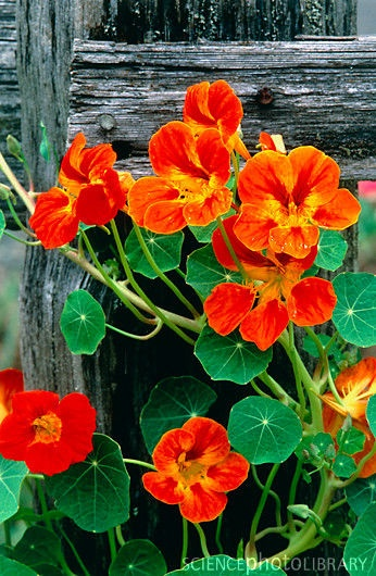 nasturtium is an edible flower (provided no chemicals are applied) I grow these in wall baskets in a shaded area, adds a peppery flavor to salads: Nasturtium Flower, Flower Provided, Flowers Plants, Nasturtium Edible, Beautiful Flowers, Orange Flowers, Na