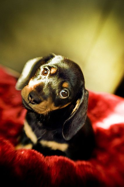 Olive the Dachshund Please Remember To Adopt A Shelter Pet Today and Do Not Shop For Us,   Merry Christmas,   Olive: Dachshund Dogs, Cute Puppies, Puppy Love, Dachshund Puppies, Dogs Puppy, Dachshund Pic