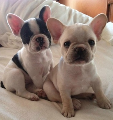 """OMG - Look at these baby faces - this is """"Emma"""" and """"Lola"""" from New Castle, PA ♥♥ Limited Edition French Bulldog Tee http://teespring.com/lovefrenchbulldogs: Frenchie Pups, French Bulldogs, Puppy, Baby Faces, Baby Frenchies, French Bulldog"""