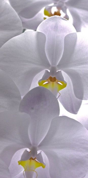 Orchid is stunning and the photograph is even more stunning.  Love the sheerness of the petals caught in the photo.: Beautiful Flower, Beautiful White, Pure White, White Garden, Flowers Orchids, Beautiful Orchids