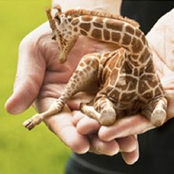 Petite Lap Giraffes - Who Wouldn't Want One?  ... from PetsLady.com ... The FUN site for Animal Lovers: Giraffe S, Petite Giraffe, Tiny Giraffe, Lap Giraffe, Baby Giraffes, Miniature Giraffe, Baby Animal, Petite Lap