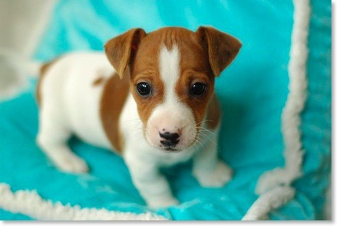 Precious.  Jack Russell: Jack Russells, Jack Russell Puppies, Jackrussells, Jrt S, Jack Russell Terriers, Jack O'Connell, Russell Baby, Baby Jack