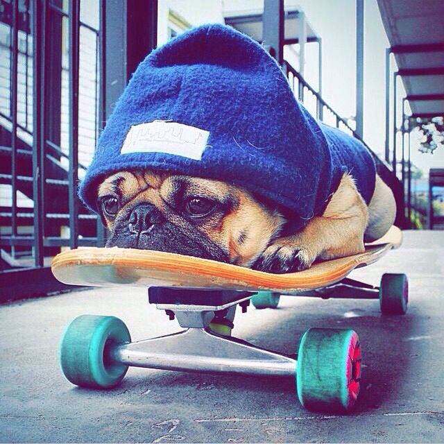 ❤ #pug #skatboard #1shopping tip GoGetSave.Com and learn how to save on your pet supplies.: Frenchies Puppy, Skater Pug, Pug Life, French Bulldogs Funny, French Bulldog Puppy Funny, Skateboarding Dog, Pugs Pugs, Frenchie Bulldog Puppies