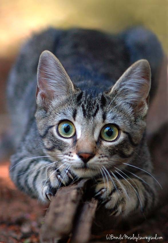 Sharpening the Claws by Brenda Moseley, via earthandanimals.tumblr.com: Cats Cats, Kitty Cats, Tabby Cats, Big Eyes, Cat S, Feline, Cats Kittens, Animal