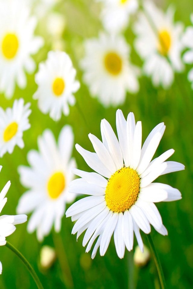 Shasta daisies - bright-looking, sunny, and cheerful. Lazy Daisies by Live Mulch #shasta daisy #daisy: Favorite Flowers, Birth Flowers, Beautiful Flowers, Daisy Chain, Daisies Grass, Flowers Daisies, Daisies Bright