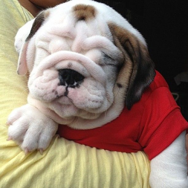 Squishy, smooshy, and wrinkly ... all in the right places!: Bulldogs Quotes, English Bulldogs, Baby Bulldogs, Dogs Bulldogs, Bulldogs I, Bulldogs Frenchies Pugs Boxers, Animal