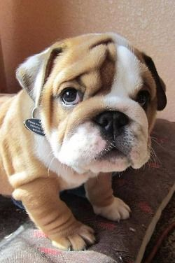 that's it! i'm getting a bulldog!: Cute Bulldog, English Bulldog Puppies, Pet, English Bulldogs, Baby Bulldogs, Friend, Animal, Bull Dogs