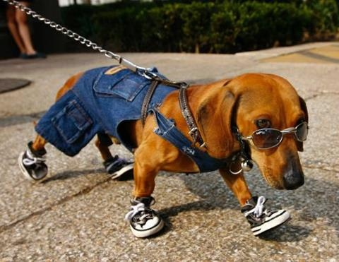 This is the best dog outfit! I'm not sure what the dog thinks about it.: Funny Animals, Doxi, Mexico City, Cute Animals, Weiner Dogs, Adorable Animal