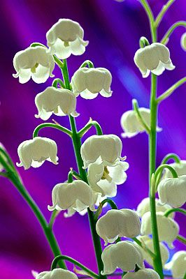 This reminds me of a song I learned in grade school:  White coral bells upon a slender stalk,  Lillies of the Valley deck my garden walk.  Oh don't you wish that you could hear them ring?  That will happen only when the fairies sing!: Valley Flower, F