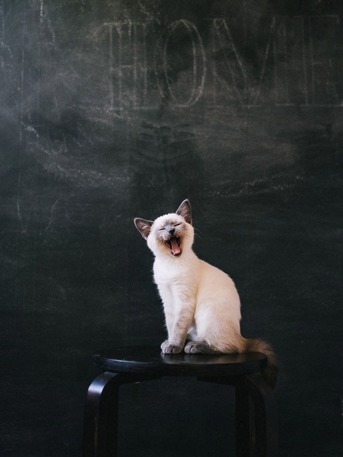 This sassy little kitty is just too cute! Might drive me crazy if he's a real talker though!: Kitty Cats, Siamese Cats, Siamese Kittens, Kitty Kitty, Big Yawn, Persian Cats, Cat S, Chat, White Cat